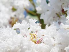 White Lagerstroemia indica flower - stock photo