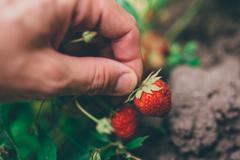 Farmer picking fresh organic homegrown strawberry Stock Photos