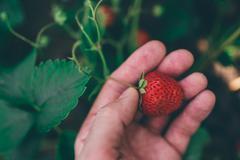 Farmer picking fresh organic homegrown strawberry - stock photo
