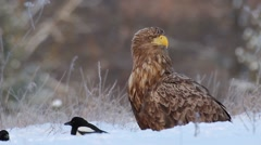 White-tailed Eagle. Stock Footage
