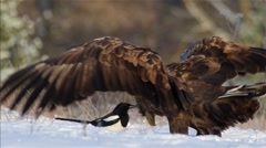 White-tailed Eagle. Stock Footage