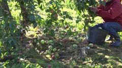Worker gather fresh apple in apple tree plantation harvest. 4K Stock Footage