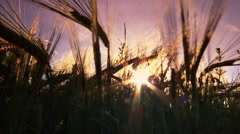 Ears of wheat in summer sunset Stock Footage