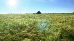 Barley field at spring sunshine Stock Footage