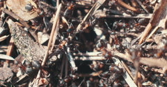Macro shot of busy forest ants crawling about the undergorwth Stock Footage
