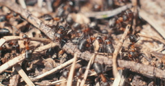Closeup of ants crawling over sticks in the sunlight Stock Footage