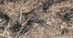 Real time closeup of a nest of forest ants fussing about holes in the ground. Stock Footage
