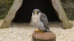Falco cherrug/ Saker falcon sitting and looking around Stock Footage