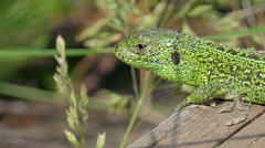 Sand Lizard Close Up Stock Footage