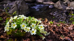 Primula moved by the wind in the woods Stock Footage