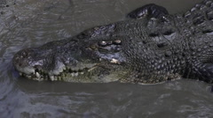 Australian Saltwater crocodile Stock Footage