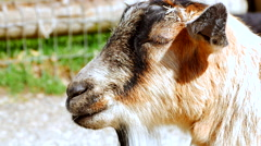 4K Tan and Grey Goat Mammal Resting, Close Up Shot - stock footage