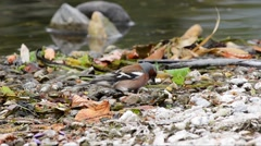 Chaffinch eat on the riverbank Stock Footage