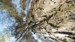 Looking up a pine tree into its canopy - stock footage