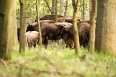 Herd of european bison in the woods - stock photo