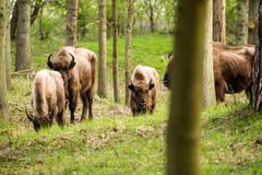 Herd of european bison with calf in forest - stock photo