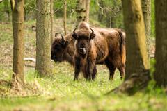 Bison licking nose standing in the woods Stock Photos