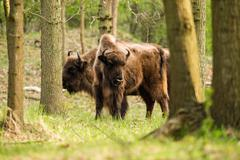 Group of european bison standing in woods Stock Photos