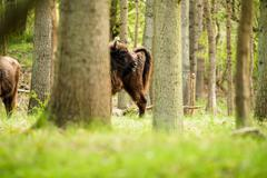 Side view of european bison scratching fur - stock photo