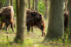 European bison scratching back - stock photo