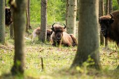 Calf bison lying in grass in forest Stock Photos
