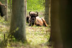 Young european bison lying in grass in the woods - stock photo