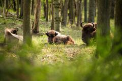 Group of european bison with calf lying in grass Stock Photos