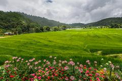 Green rice field terrace  with pathway on mountain with flowers  foreground - stock photo