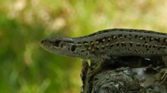 Lizard ( Lacerta agilis) breathes and looks around. Stock Footage