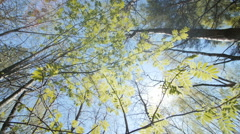 Looking up under the canopy of a rowan bush. Spring Stock Footage