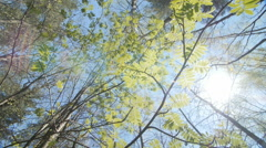 Looking up under the canopy of a rowan bush. Spring - stock footage