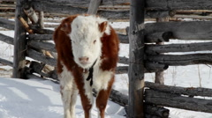 Brown with white spots hairy calf. Sayan mountains. Buryatia. Siberia. Russia Stock Footage