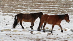 Two shaggy brown horses grazing at the foot of the mountains. Buryatia - stock footage