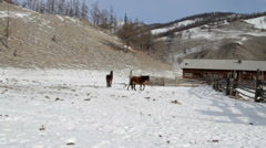 Two shaggy brown horses grazing at the foot of the mountains. Buryatia. Russia - stock footage