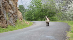Mountain goat  on road walking toward camera Asturias Northern Spain - stock footage