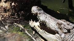 Saltwater Crocodile face - stock footage