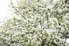 close up of beautiful blooming apple tree branch - stock photo