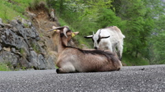 Mountain goat mother and kid affectionate nuzzling on road Asturias Spain - stock footage