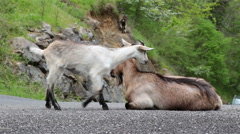 Mountain goat mother and kid running on road car passing Asturias Spain - stock footage