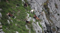 Mountain goats climbing grazing  steep cliff Asturias Northern Spain - stock footage