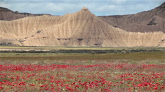 Bardenas Reales badlands red flowers plain mountain pyramid high contrast light Stock Footage