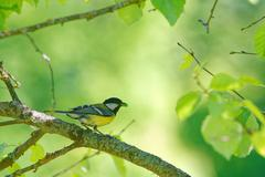 Great tit (Parus major) feeding the  nestlings with green caterpillars. Stock Photos