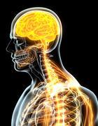 3D illustration male nervous system. - stock illustration