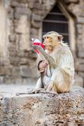 Monkey drinking red nectar. - stock photo