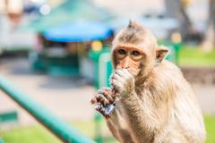 Monkey drinking nectar. - stock photo