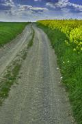 Dirt road and rape - stock photo