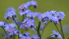Forget Me Not Stock Stock Footage