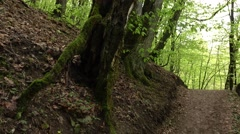 Old bevel tree with big roots covered with moss beside ground path Stock Footage