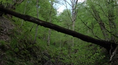 One large log lies across shallow ravine at forest - stock footage