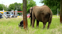 Elephant eating grass at road bank in urban setting walking loose Stock Footage